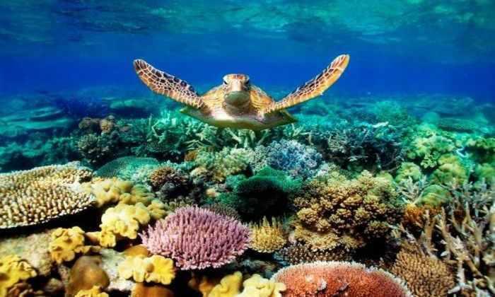 «Экстремальные кораллы» могут спасти рифы от обесцвечивания