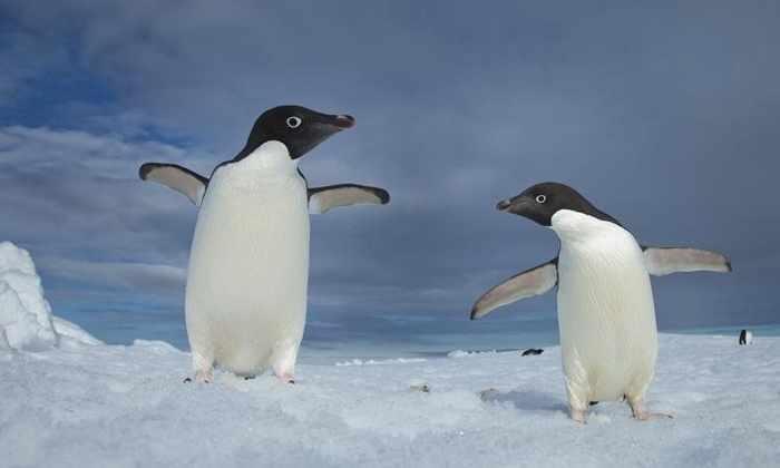 Необычные сексуальные привычки пингвинов