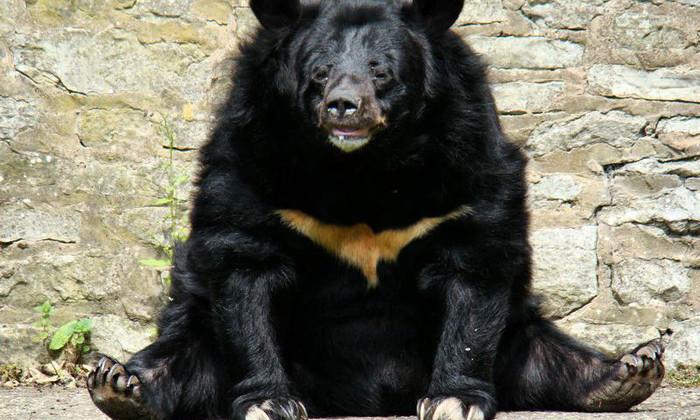 У медведя в Мьянме вырос трехкилограммовый язык. Это первый такой случай