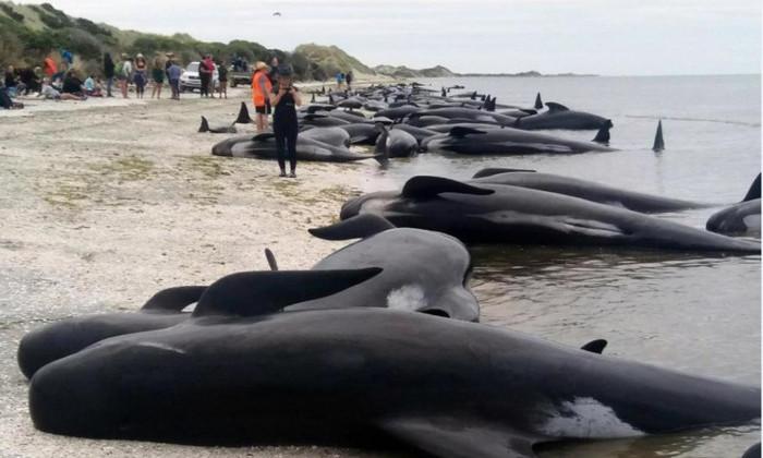 Более 400 китов выбросились на берег в Новой Зеландии. Большинство погибло