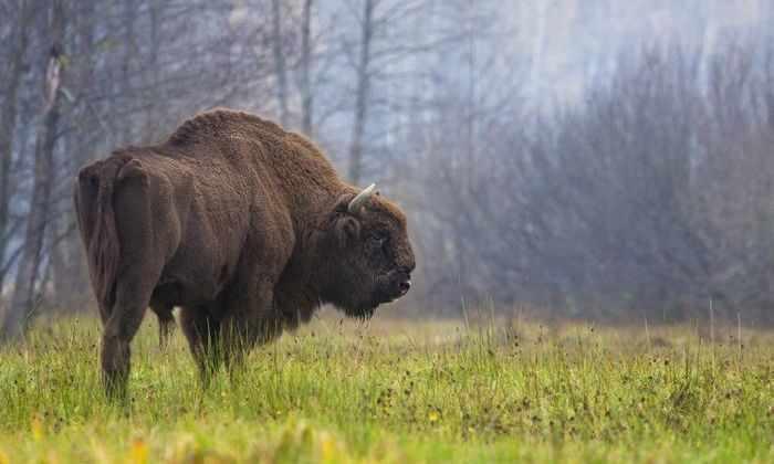 Зубры возвращаются в европейские леса