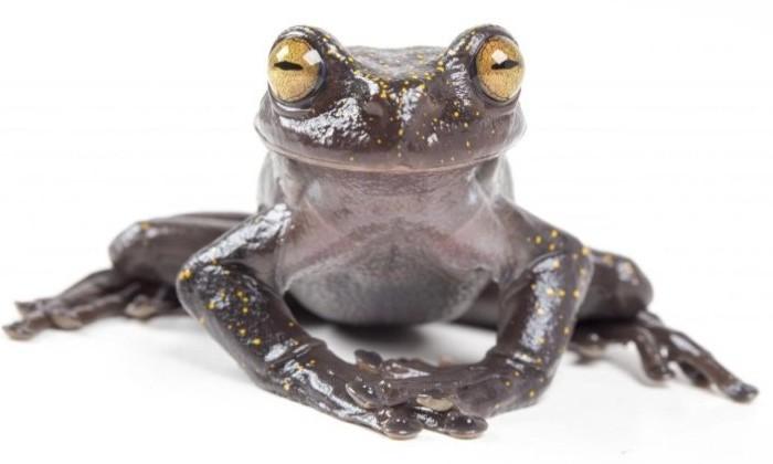 В Эквадоре нашли странную лягушку. С когтями