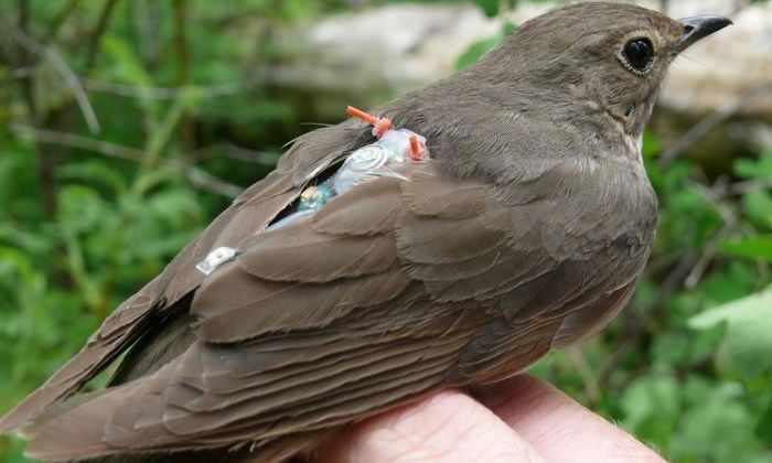 Певчие птицы совершают огромные перелеты из-за группы генов