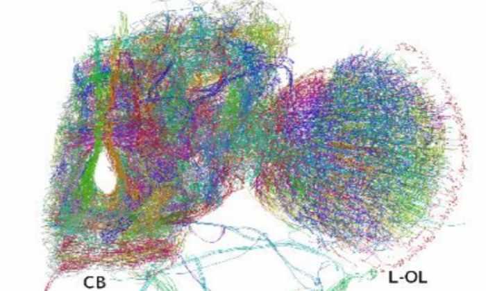 Ученые впервые записали нейронные связи мозга мухи