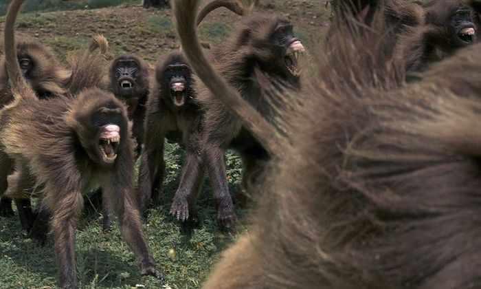 В сигналах обезьян нашли общие черты с языком человека