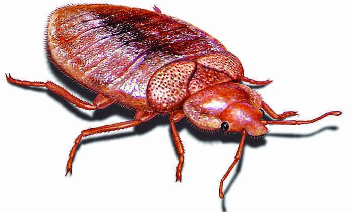 Плотная «кожа» сделала клопов неуязвимыми к инсектицидам