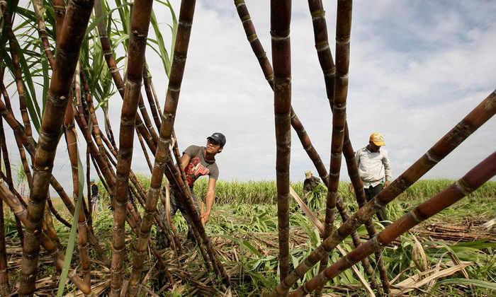 Российские ученые предлагают делать целлюлозу из тростника