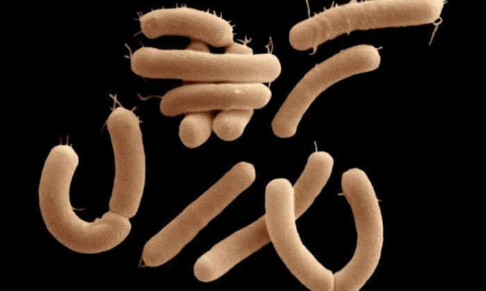 Впервые обнаружены кишечные бактерии, питающиеся химическими элементами мозга