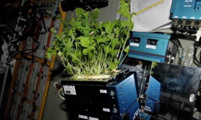 Российские космонавты вновь вырастят цветы на МКС