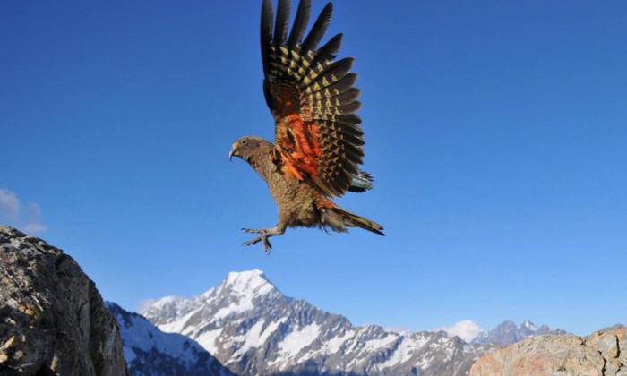 Видео: в Новой Зеландии обнаружили смеющихся попугаев