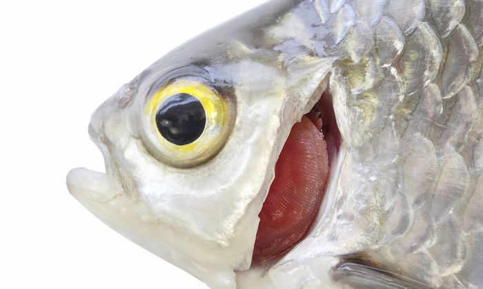 В жабрах рыб открыли уникальный симбиоз