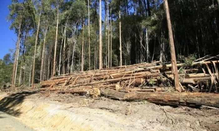 Австралии запретили вырубать Тасманский лес