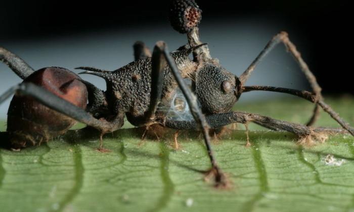 Грибок-паразит превращает муравьев в «зомби». Теперь понятно как