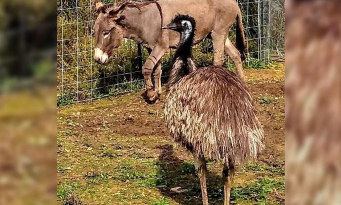 Осел влюбился в страуса. И даже заплакал в разлуке