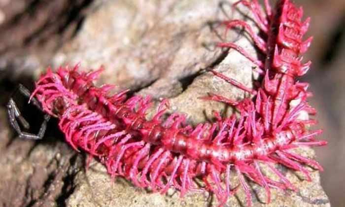 Открыто шесть новых видов «драконов-многоножек»
