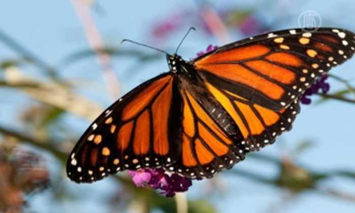 Ученые раскрыли тайну внутреннего компаса бабочки-данаиды