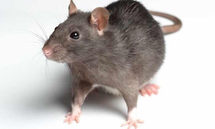 В Канаде создали новое средство против крыс