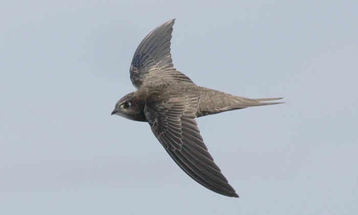 Ученые отыскали птиц, способных летать 10 месяцев без остановки
