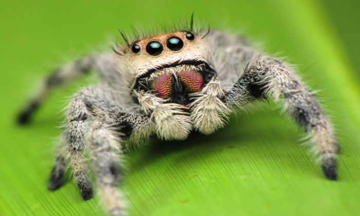 Обнаружены травоядные пауки