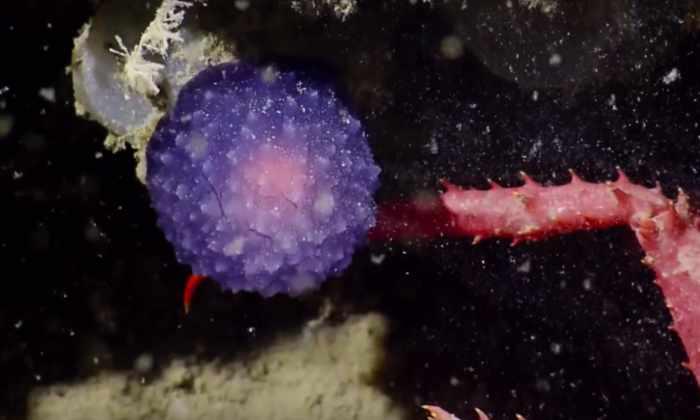 Ученые обнаружили странный фиолетовый шар на дне океана