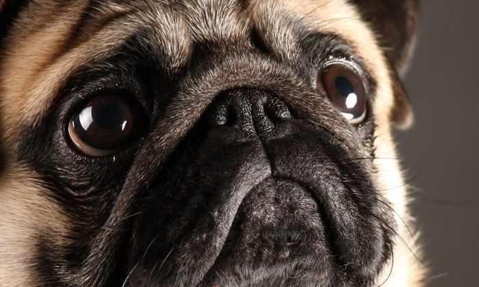 Люди заводят все более компактных собак