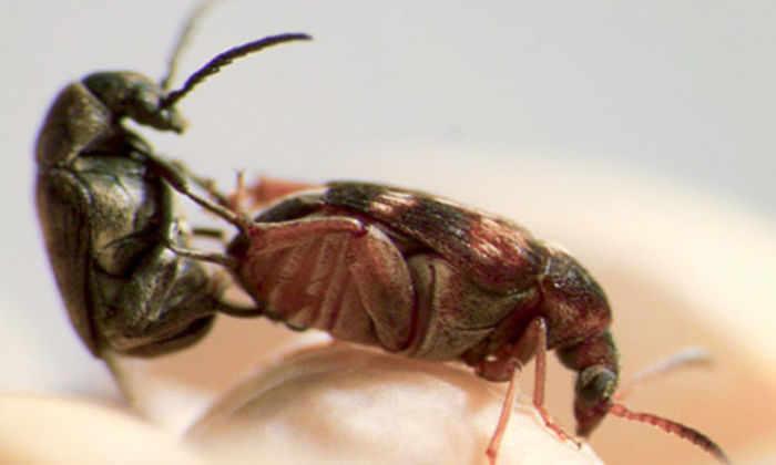 У самок жуков нашли природный анти-афродизиак