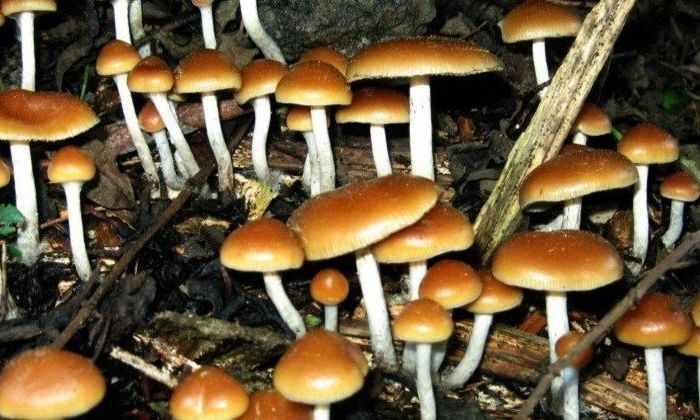 «Волшебные» грибы облегчат тяжелую депрессию