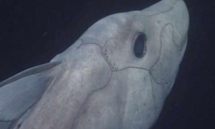 Ученые «поймали» на видео редкую глубоководную акулу