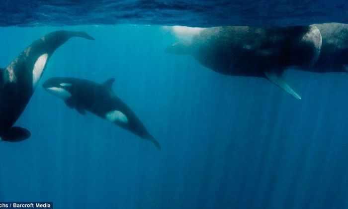 Видео: в Австралии киты охотились за акулой