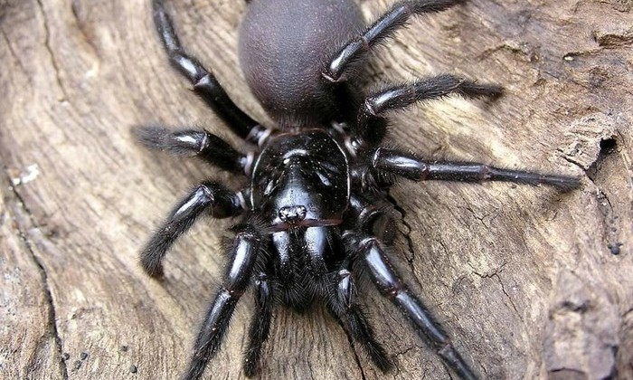 Смертельно ядовитые пауки помогут в лечении инсульта