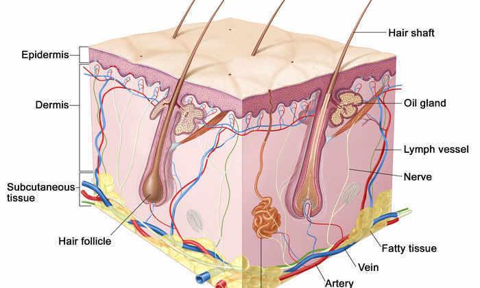 Ученые создали потеющую кожу с волосами