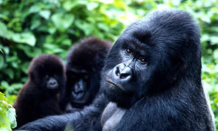 Геном гориллы секвенировали новым методом