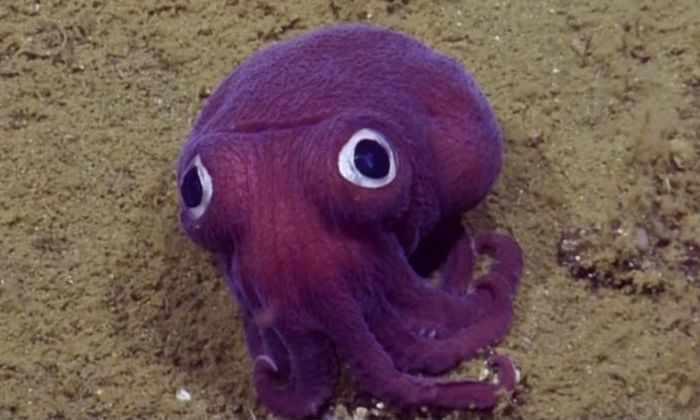 На 900-метровой глубине обанружен фиолетовый кальмар, похожий на игрушку