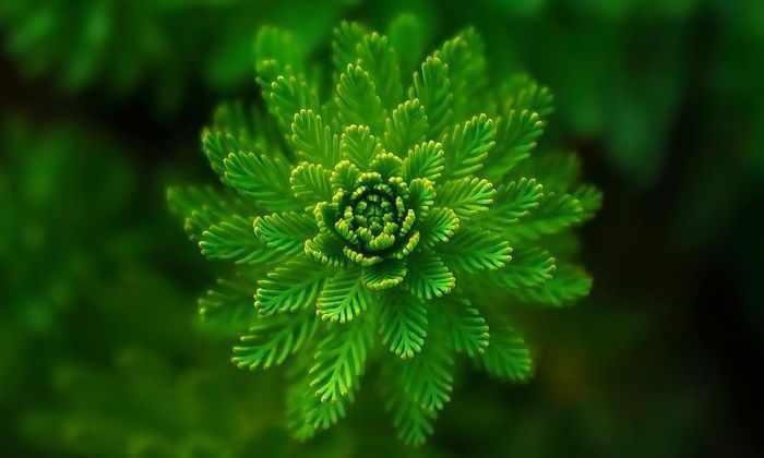 Табачная пыльца поможет ученым найти стимуляторы роста для растений
