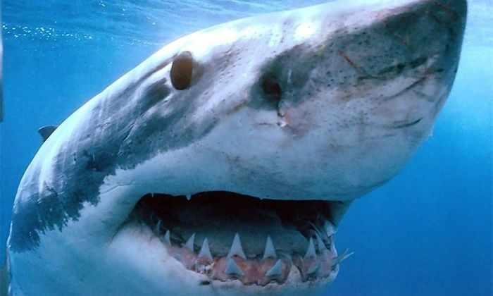 Тигровые акулы оказались крайне дружелюбными животными