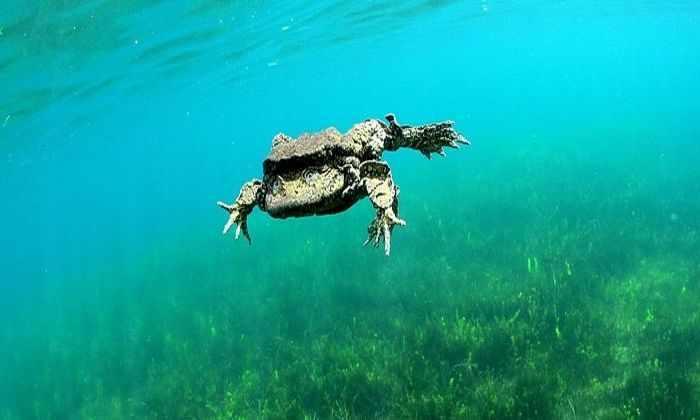 10 тысяч редких лягушек неожиданно погибли на озере Титикака
