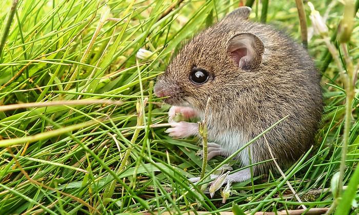 Мышей научили успокаиваться с помощью