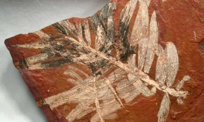 Обнаружена окаменелость самой древней сосны