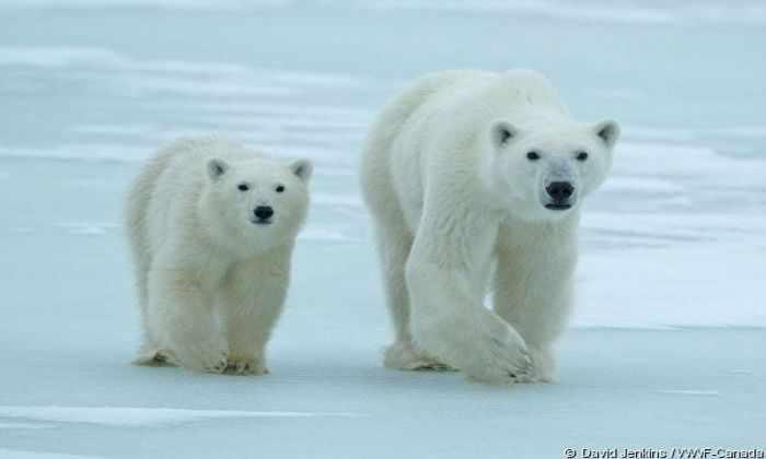 Полярным медведям ничего не угрожает
