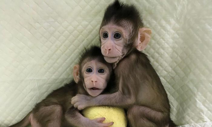 Китайские ученые впервые успешно клонировали обезьян
