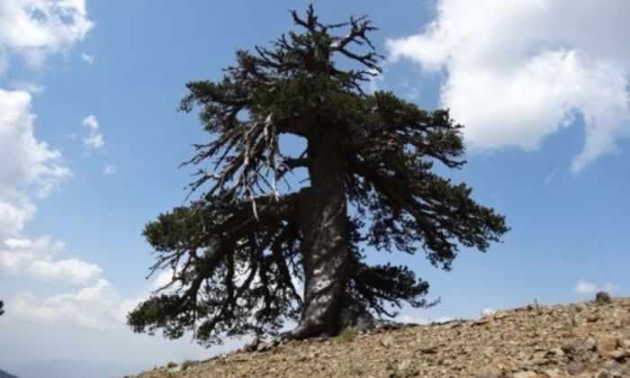В Европе обнаружили самое старое дерево