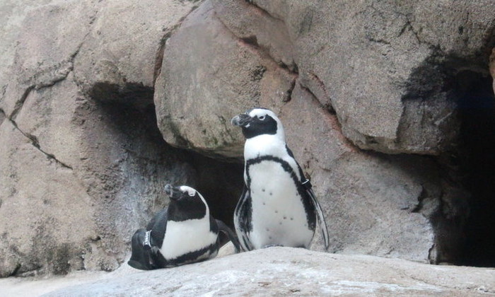 Смотрите в прямом эфире: в американском птичьем вольере вот-вот вылупятся пингвинята