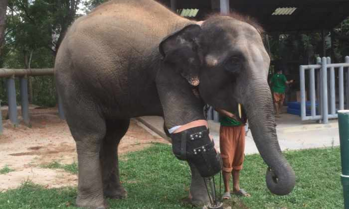 Хирург из Таиланда изготовил протез ноги для слона