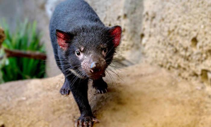 Ученые нашли способ спасти тасманских дьяволов от вымирания