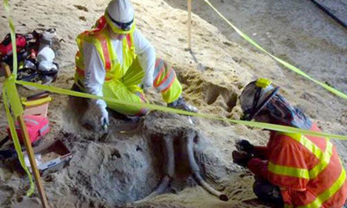 Останки мамонта отыскали вметро Лос-Анджелеса