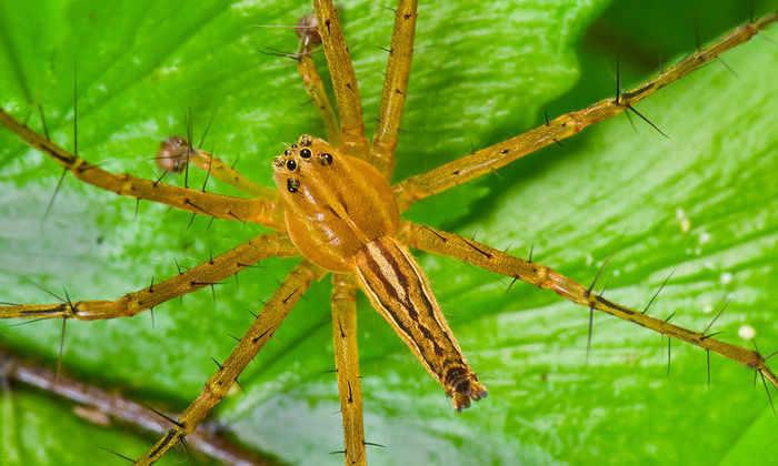 Связывание спасает пауков-самцов от смерти после секса