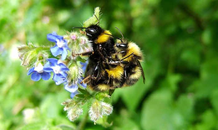 Самцы пчел могли непреднамеренно принимать контрацептивы долгие годы