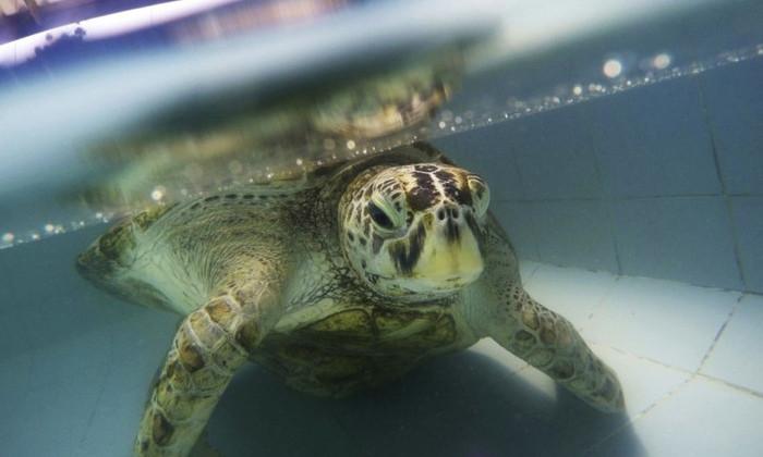 В Таиланде погибла черепаха, проглотившая 5 кг монет