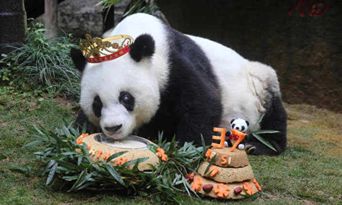 Старейшая панда в мире отметила день рождения