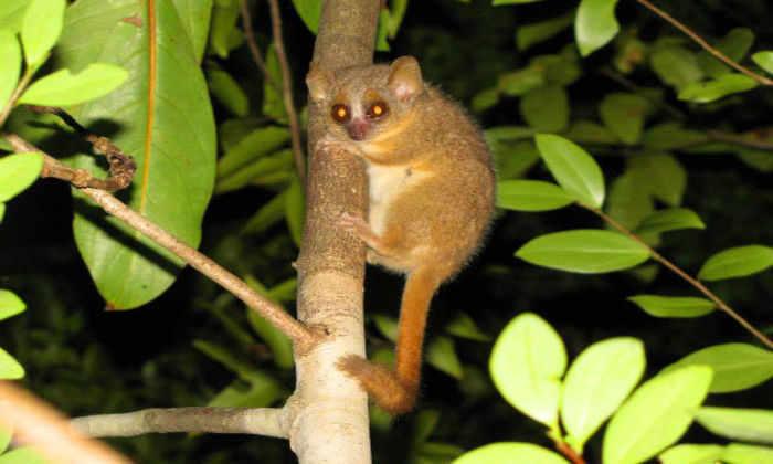 На Мадагаскаре открыли три новых вида приматов
